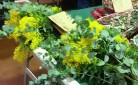 Mimose in vendita al mercato