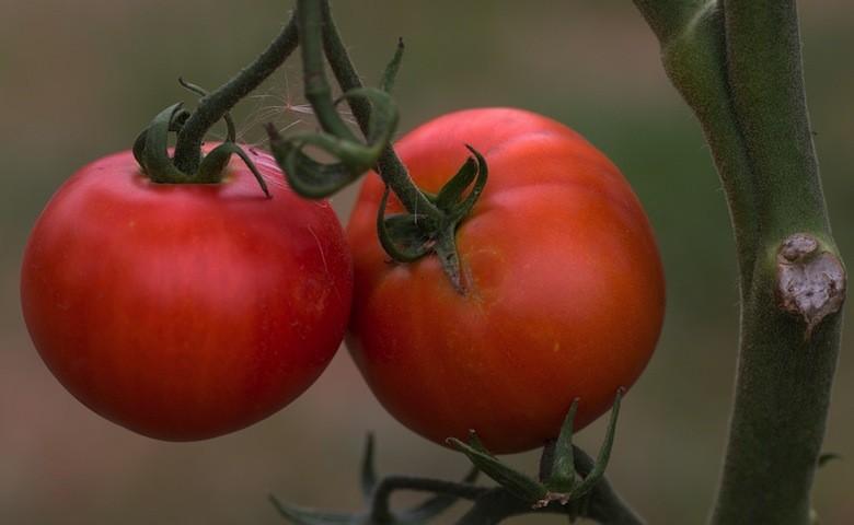 Agricoltura italiana a rischio per pomodori dal Marocco