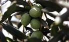L'olio d'oliva Made in Italy è un bene prezioso da tutelare