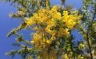 Per la Festa della donna -30% di mimose