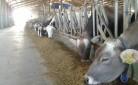 Mucche per la produzione di latte