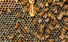 Le api ripongono il miele nei favi
