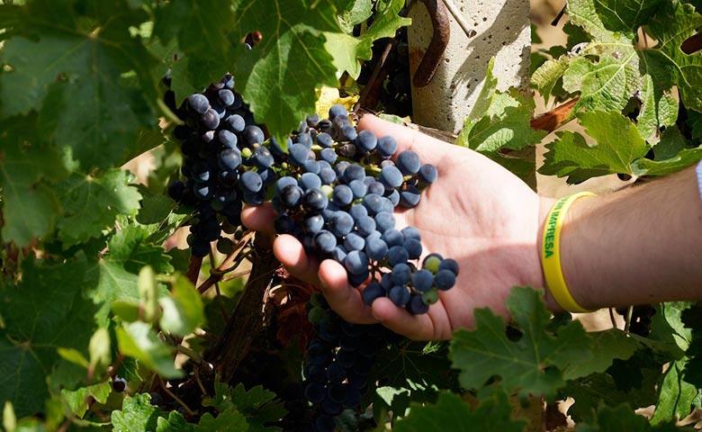 Uva, tra i prodotti dell'agricoltura mediterranea da valorizzare