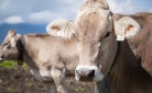 Mucche da latte sopravvissute al terremoto