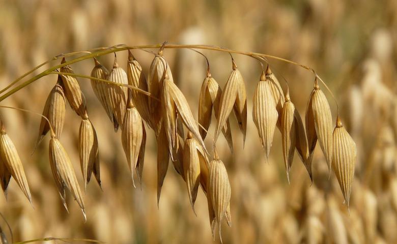 Agricoltura, l'avena tra le semine a rischio nelle zone colpite dal terremoto