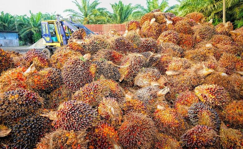 Piantagione per l'estrazione di olio di palma