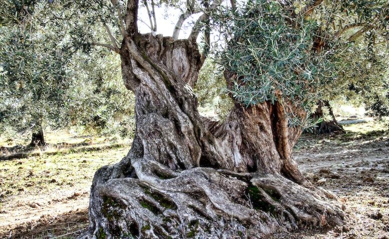 Ulivi secolari in Puglia