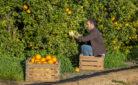 Giovani e lavoro. agricoltore che raccoglie arance