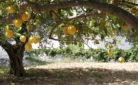 Ambiente: un albero di limoni
