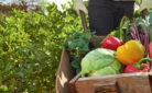 Agroalimentare: contadino raccoglie ortaggi di produzione propria