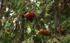 Pianta di pomodoro colpita dalla siccità