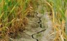 Campo colpito da caldo e siccità