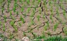 Campo di riso a secco a causa del clima anomalo