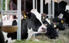 Mucche in una stalla
