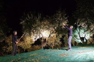 Raccolta di olive per la produzione di olio EVO