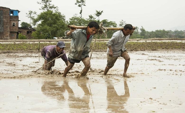 Lavoratori in un campo di riso